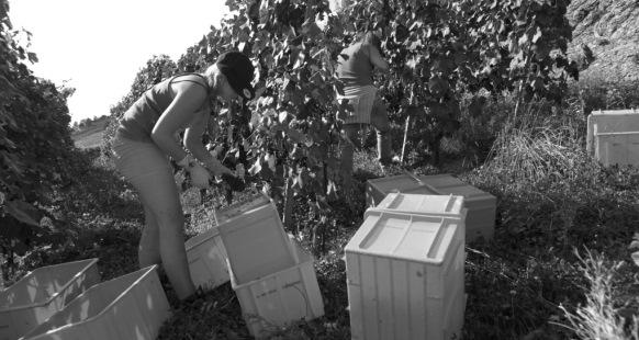 Kontrolleure dürfen Weinpanscher geheim halten: Traubenernte im Laveaux. (Foto: RDB/Stephan Engler)