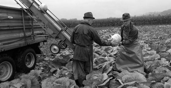 Légende photo:Les sommes que verse la Confédération pour leur activité est encore un secret: récolte des choux dans le Gürbental (Photo: RDB/Hiltpold)